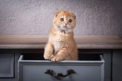 Кот Scottish складывают котенка на деревянном столе и текстурированном backgroun Стоковое Изображение RF