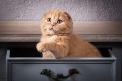 Кот Scottish складывают котенка на деревянном столе и текстурированном backgroun Стоковые Фотографии RF