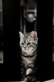 Кот Shorthair американца маленький стоковое изображение rf