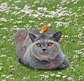 Кот shorthair британцев родословной в саде с птицей робина садить на насест на голове стоковое изображение rf