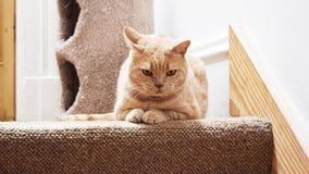 Кот shorthair сердитого имбиря великобританский лежа на лестницах Стоковая Фотография