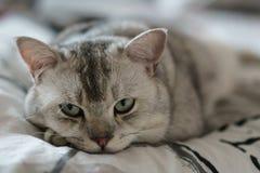 Кот shorthair спать красивый великобританский, кладя под голову лапки стоковые изображения rf