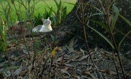 Кот Snowshoe сиамский стоковые изображения rf