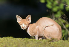 Кот Sphynx Стоковые Изображения