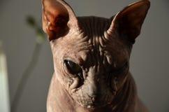 Кот Sphynx Стоковое Изображение RF