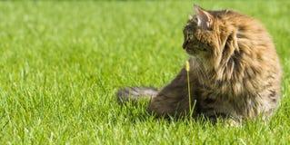 Кот tabby в саде, сибирская женщина Брайна породы на зеленом цвете травы около уха Стоковое Изображение