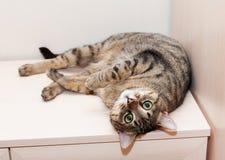 Кот Tabby лежа на ногах дрессера вверх стоковое изображение rf
