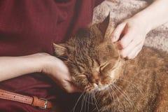 Кот tabby ласки женщины, рука котенка ласки женщины красивого половинного сонного, сонного кота Стоковое фото RF