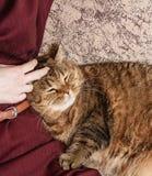 Кот tabby ласки женщины, рука котенка ласки женщины красивого половинного сонного, сонного кота Стоковое Фото