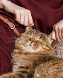 Кот tabby ласки женщины, рука котенка ласки женщины красивого половинного сонного, сонного кота Стоковые Фотографии RF