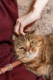 Кот tabby ласки женщины, рука котенка ласки женщины красивого половинного сонного, сонного кота Стоковая Фотография RF