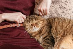 Кот tabby ласки женщины, рука котенка ласки женщины красивого половинного сонного, сонного кота Стоковая Фотография