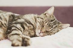 Кот Tabby лежит на кровати и спит Кот мил Стоковое Фото