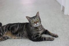 Кот Tabby мужской представляя для камеры Стоковые Изображения