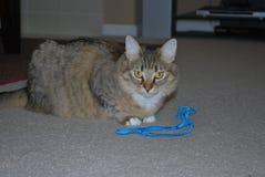 Кот Tabby на playtime стоковые фотографии rf