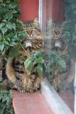 Кот Tabby принцев Острова с отражением Стоковая Фотография RF