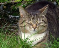 Кот, tabby пышный, сонный Стоковые Фото