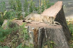 Кот tabby скумбрии дикий отдыхая на пне Стоковые Фото
