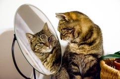 Кот Tabby смотрит в зеркало Стоковые Изображения RF