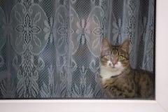 Кот Tabby смотря вне окно Стоковые Изображения RF