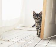 Кот Tabby смотря вокруг открыть двери Стоковые Фото