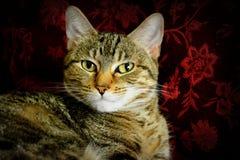 Кот Tabby смотря камеру Стоковые Изображения