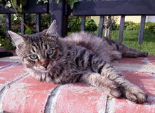 Кот Tabby смотря камеру Стоковые Фото