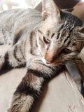 Кот Tabby смотря камеру Стоковое Изображение