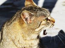 Кот Tabby смотря камеру Стоковая Фотография