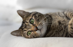 Кот Tabby смотря камеру Стоковое Фото