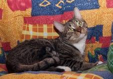 Кот Tabby с желтым цветом наблюдает лежать на motley Стоковое Фото