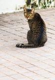 Кот Tabby с желтым цветом наблюдает сидеть на дорожке Стоковое Изображение RF