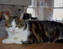 Кот Tabby с зеленоватыми глазами в интерьере кухни Стоковая Фотография