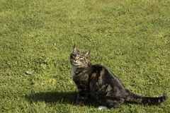 Кот Tabby с языком вне Стоковые Фотографии RF