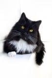 кот w b Стоковая Фотография RF