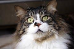 кот willie Стоковые Изображения RF