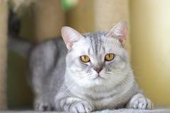 Коут кота свой наблюдать стоковые изображения rf