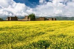 Коул цветет обрабатываемая земля в тибетском плато Стоковые Изображения