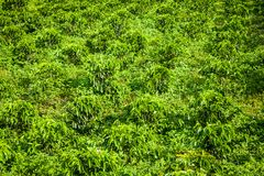 Кофейная плантация в Jerico Колумбии Стоковое Изображение
