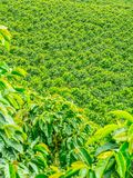 Кофейная плантация в Jerico, Колумбии Стоковые Изображения RF