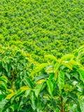 Кофейная плантация в Jerico, Колумбии Стоковое Изображение RF