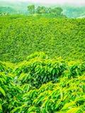 Кофейная плантация в Jerico, Колумбии Стоковая Фотография