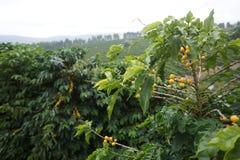 Кофейная плантация в сельском городке Carmo de Мины Бразилии Стоковое Фото