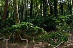 Кофейная плантация Ananthagiri Стоковое Изображение RF