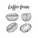 Кофейное зерно, семя, естественный органический плодоовощ кофеина Нарисованная рукой иллюстрация вектора на белой предпосылке Стоковое Фото