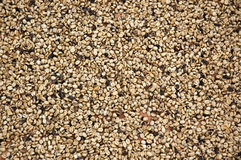 Кофейные зерна засыхания Стоковые Изображения RF