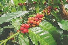 Кофейные зерна зрея Стоковые Фото