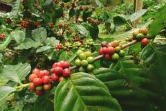 Кофейные зерна зрея Стоковое фото RF