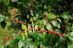 Кофейные зерна зрея Стоковое Изображение RF