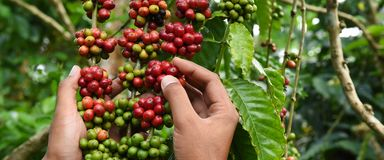 Кофейные зерна зрея стоковые изображения rf